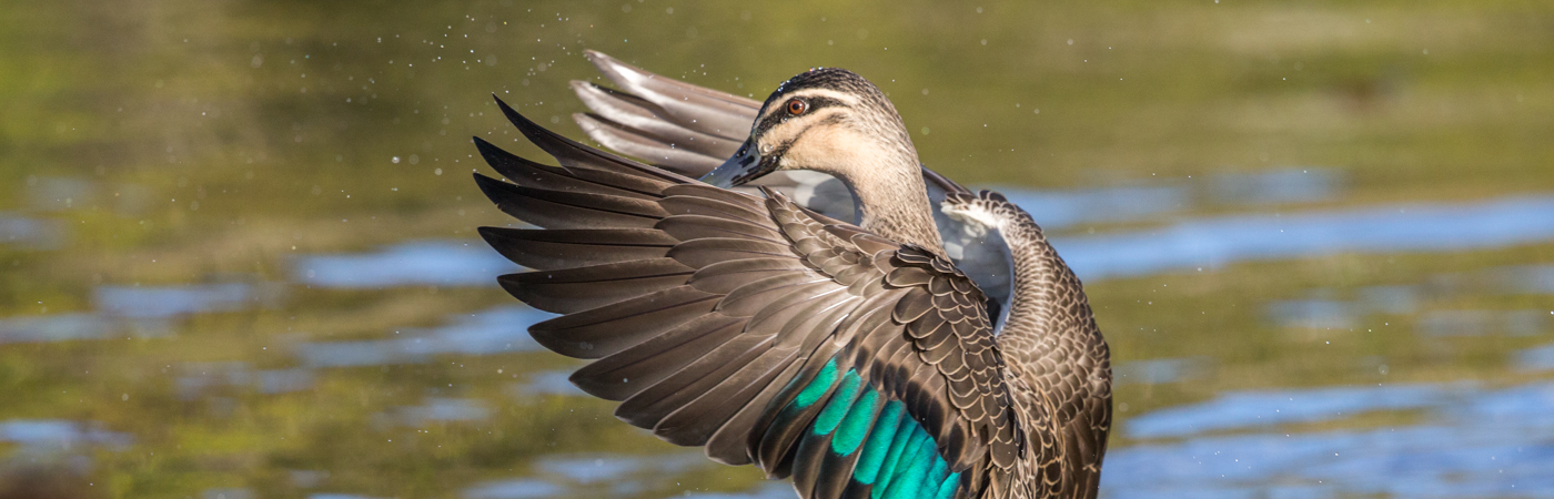 Pacific Black Duck (Image ID 34836)