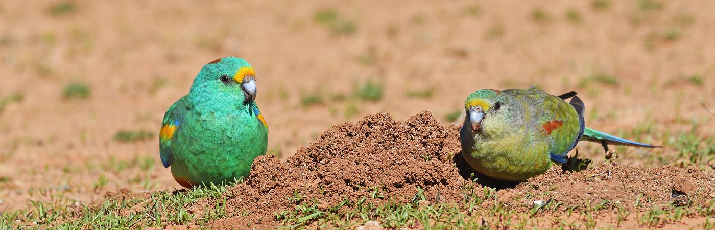 Mulga Parrot (Image ID 35161)