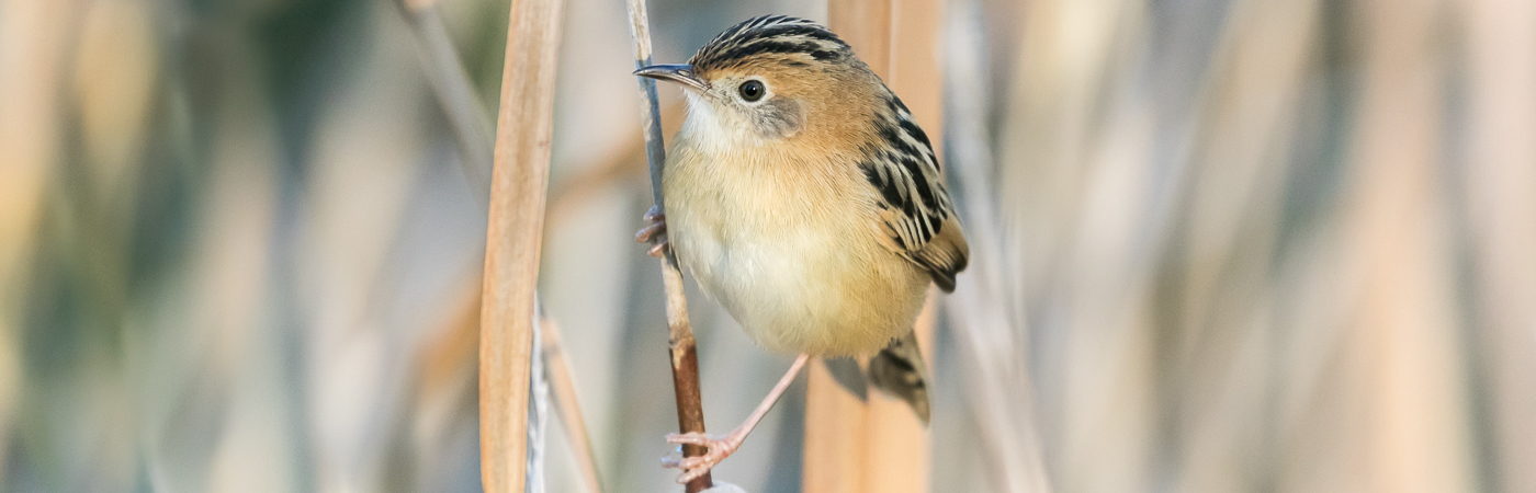 Golden-headed Cisticola (Image ID 35319)
