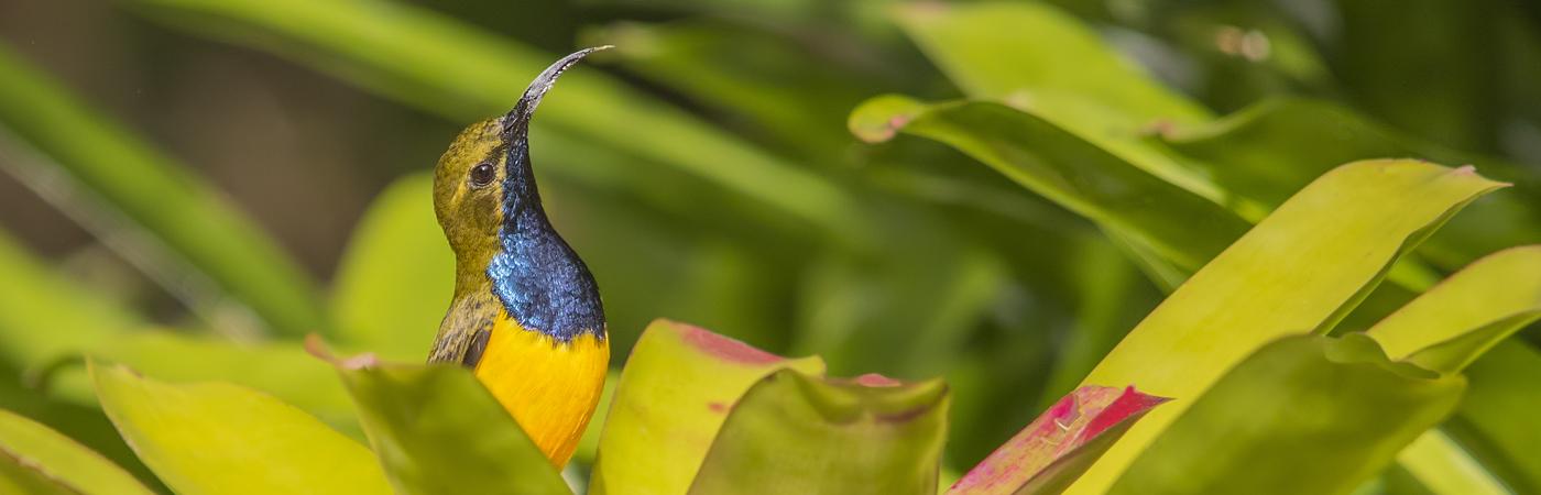 Olive-backed Sunbird (Image ID 35479)