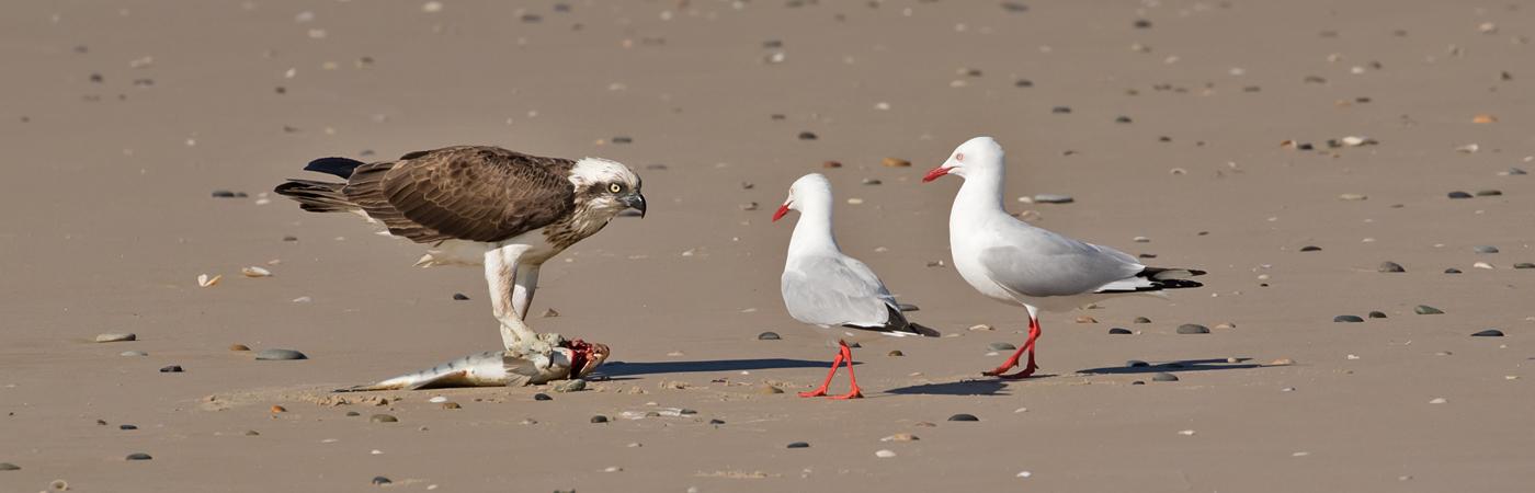 Osprey,Silver Gull (Image ID 35703)