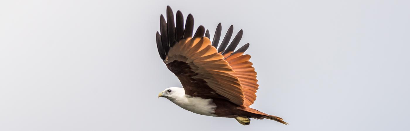 Brahminy Kite (Image ID 35584)