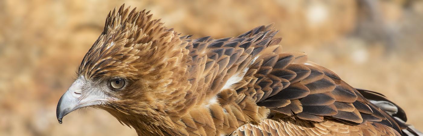 Black-breasted Buzzard (Image ID 36100)