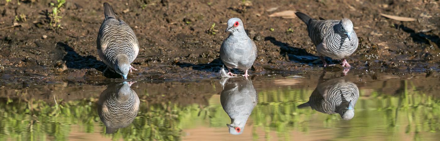 Diamond Dove,Peaceful Dove (Image ID 36061)
