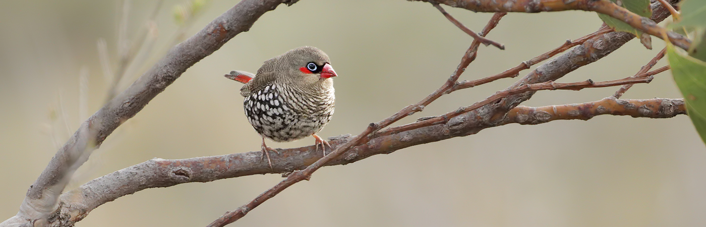 Red-eared Firetail (Image ID 37686)