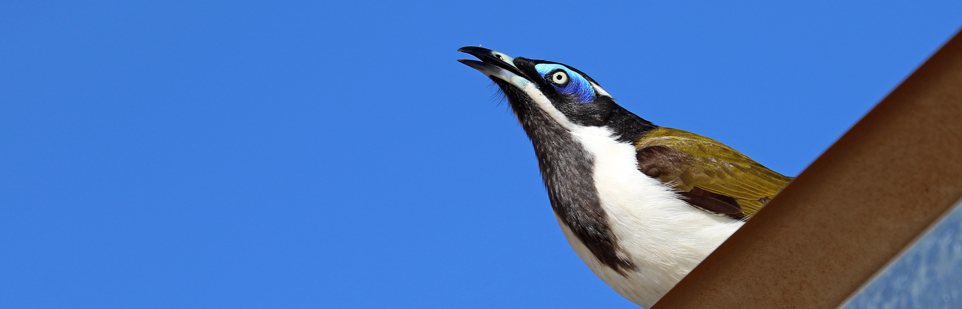 Blue-faced Honeyeater complex (Image ID 37508)