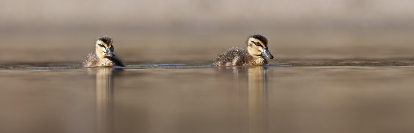 Pacific Black Duck (Image ID 37944)