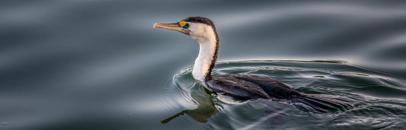 Great Pied Cormorant (Image ID 38639)