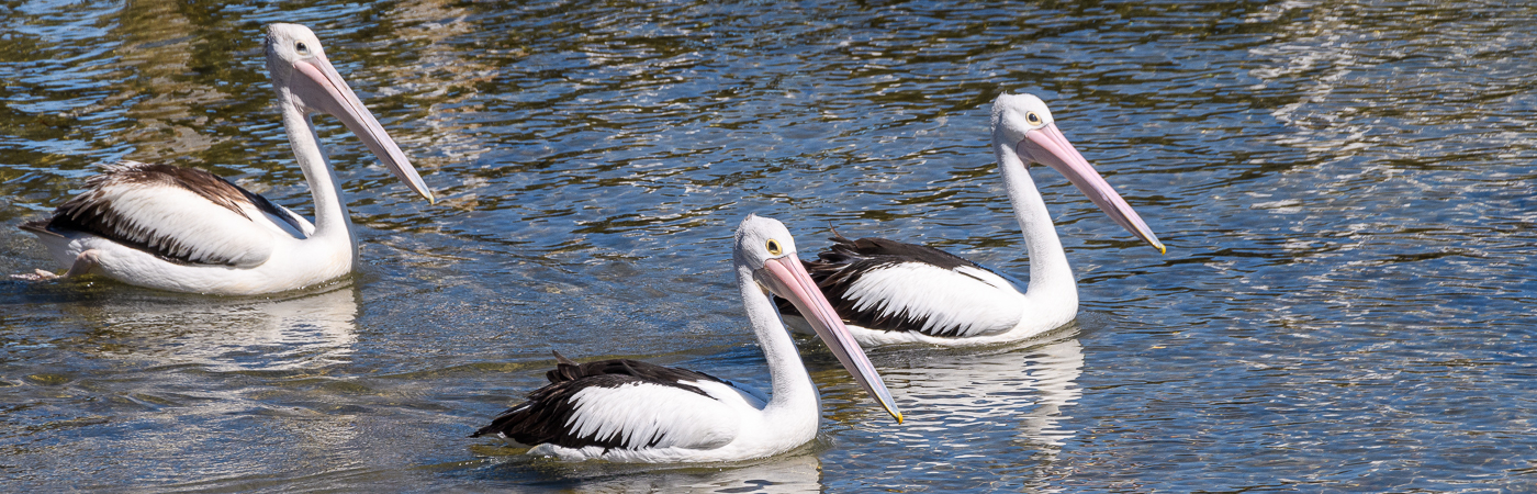 Australian Pelican (Image ID 39696)