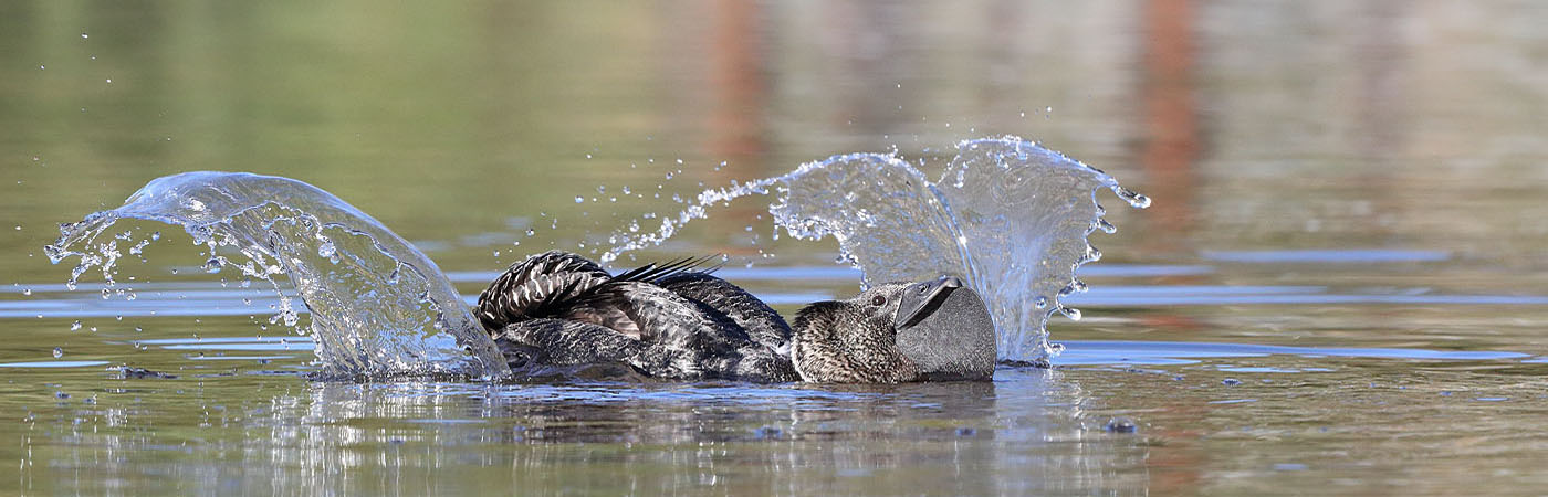 Musk Duck (Image ID 39936)