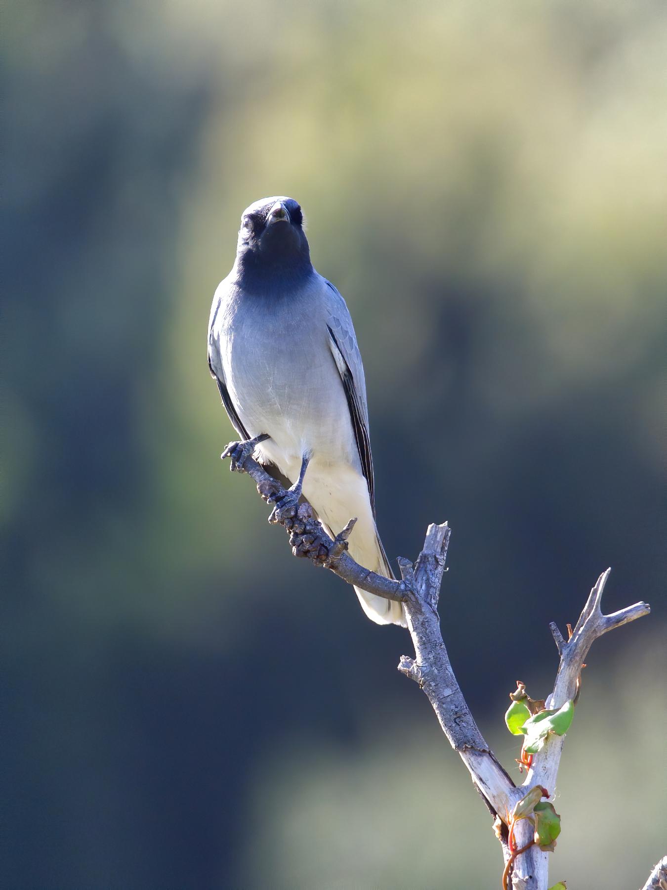 Black-faced Cuckoo-shrike (Image ID 40397)