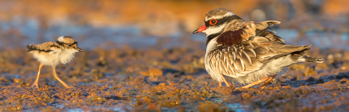 Black-fronted Dotterel (Image ID 40633)