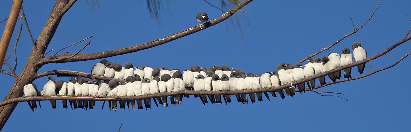 White-breasted Woodswallow (Image ID 40305)