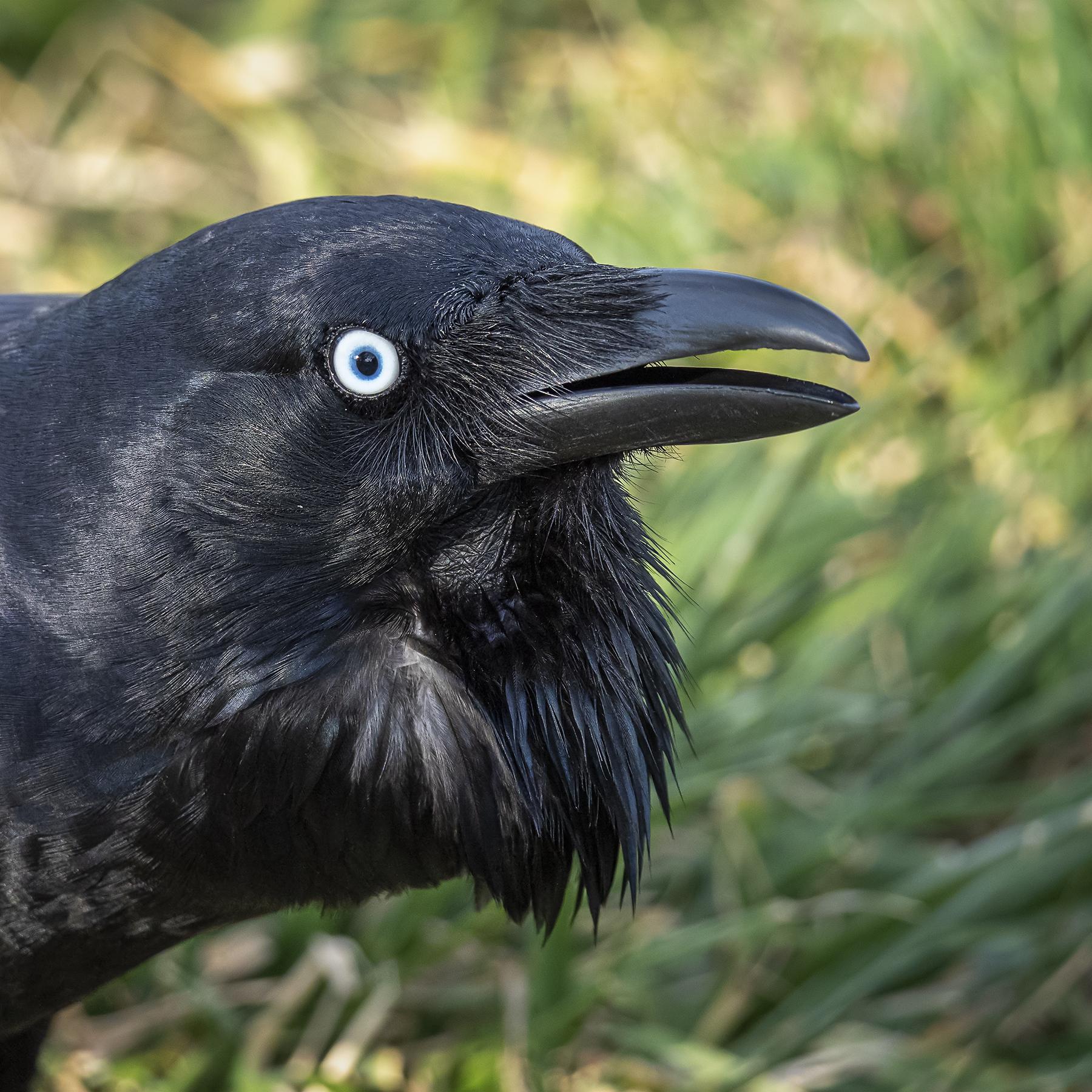 Australian Raven (Image ID 40866)