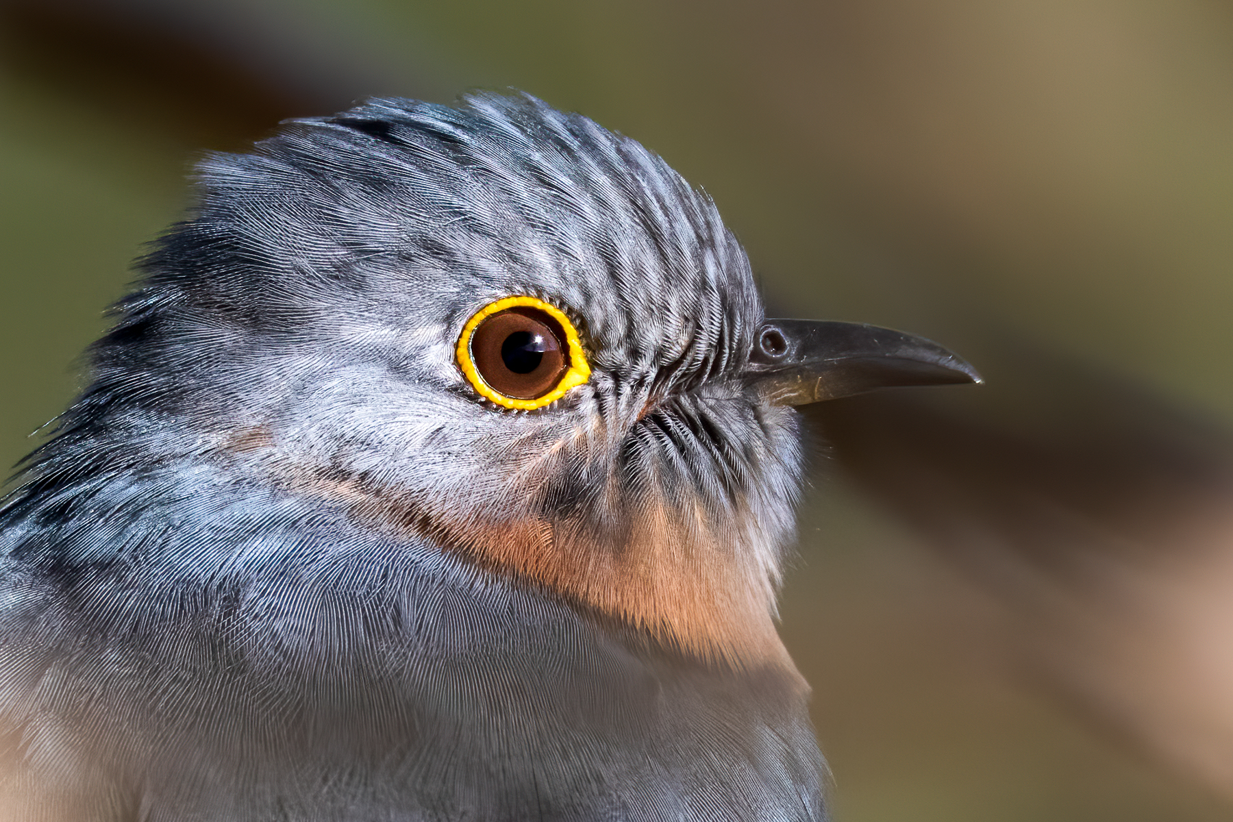 Fan-tailed Cuckoo (Image ID 41561)