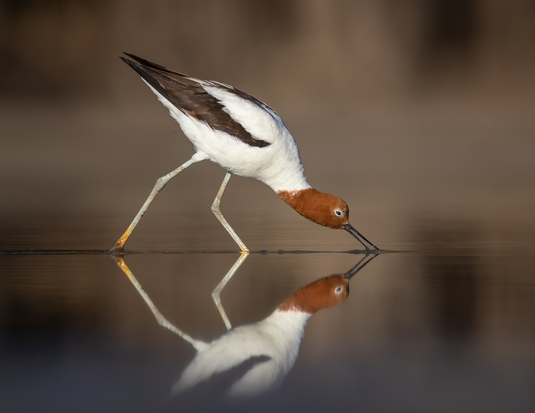 Red-necked Avocet (Image ID 41526)