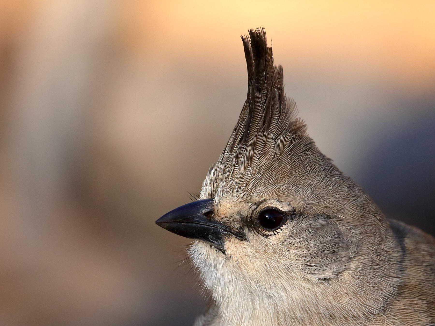 Chiming Wedgebill (Image ID 41518)