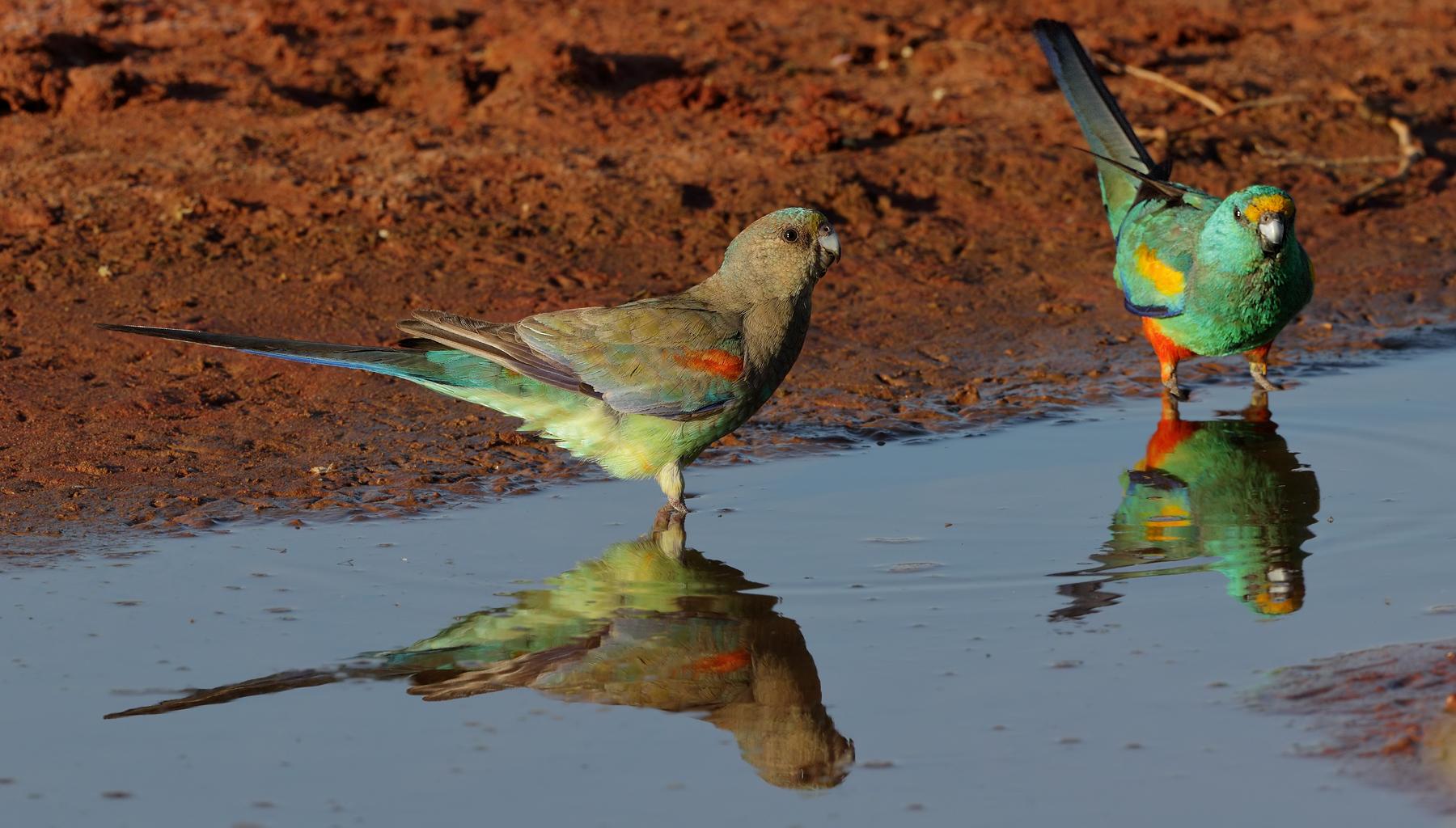 Mulga Parrot (Image ID 42510)
