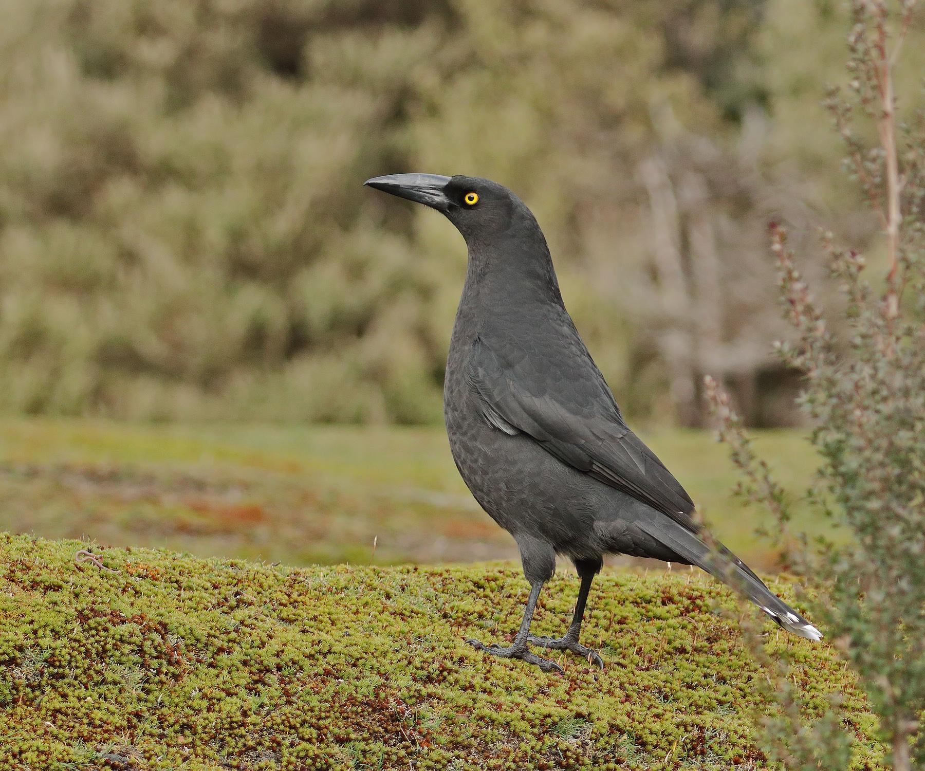 Black Currawong (Image ID 42537)