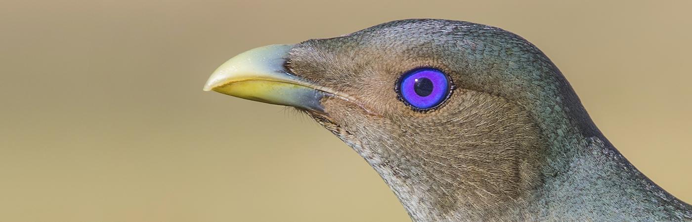 Satin Bowerbird (Image ID 42387)