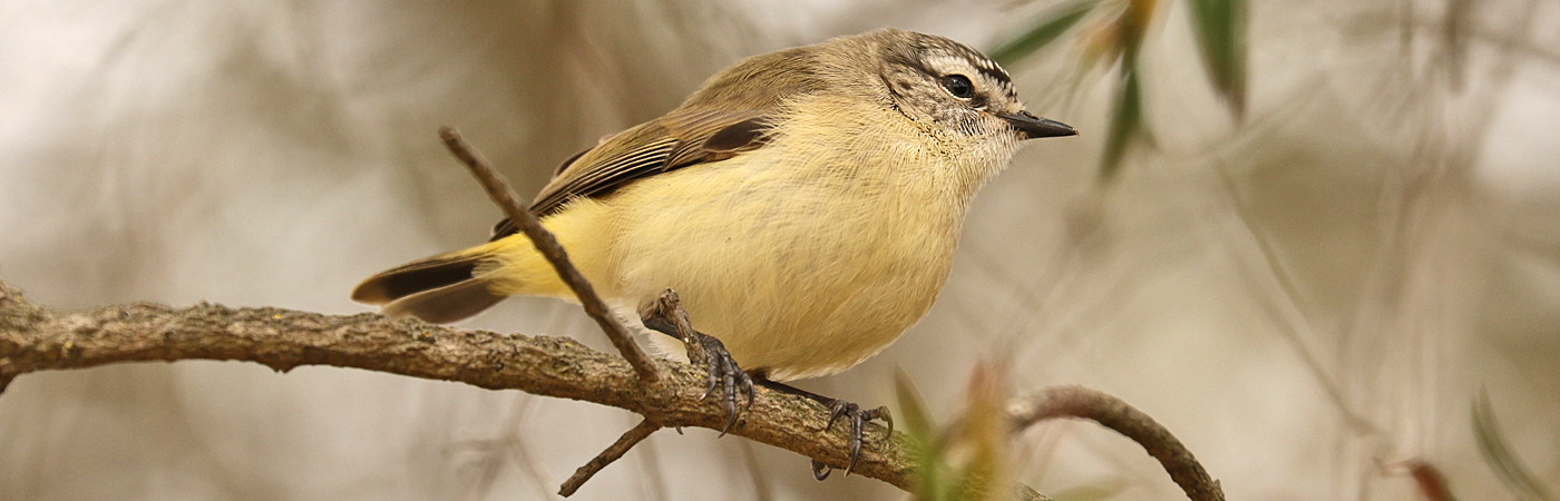Yellow-rumped Thornbill (Image ID 42325)