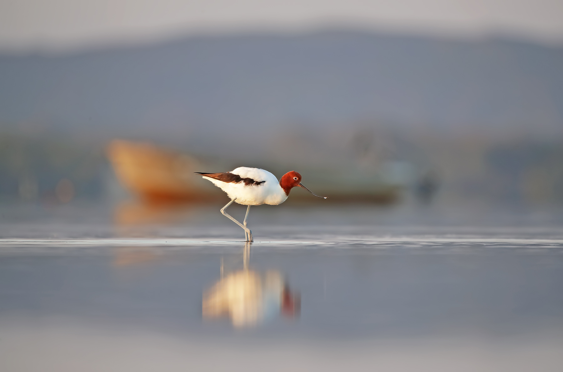Red-necked Avocet (Image ID 42526)