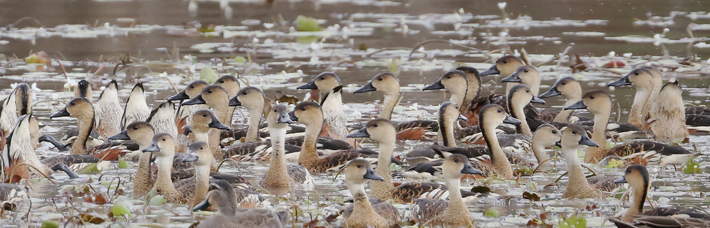 Plumed Whistling-Duck, Wandering Whistling-Duck (Image ID 42253)