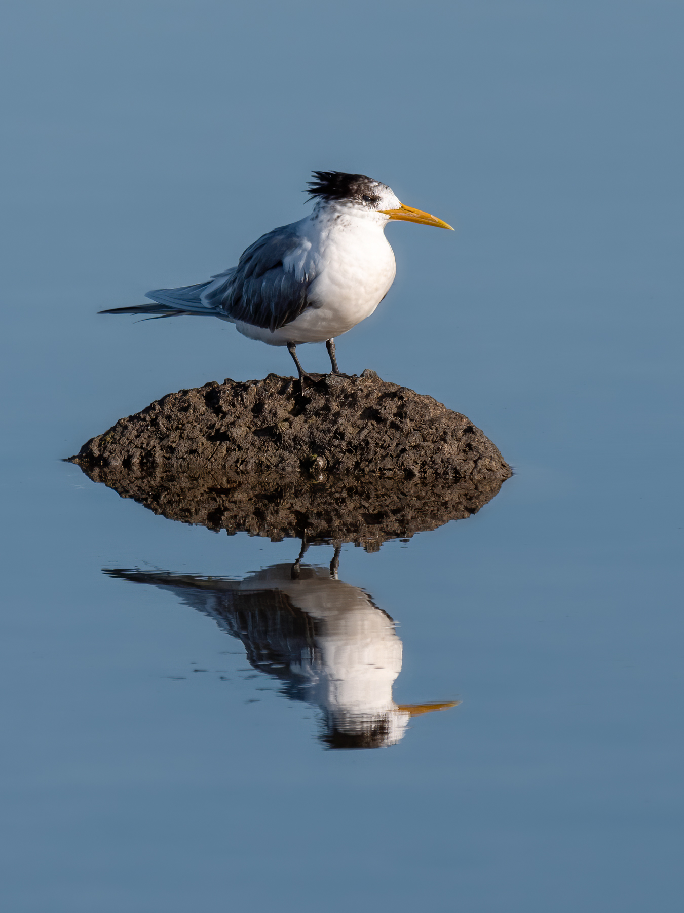 Greater Crested Tern (Image ID 42718)
