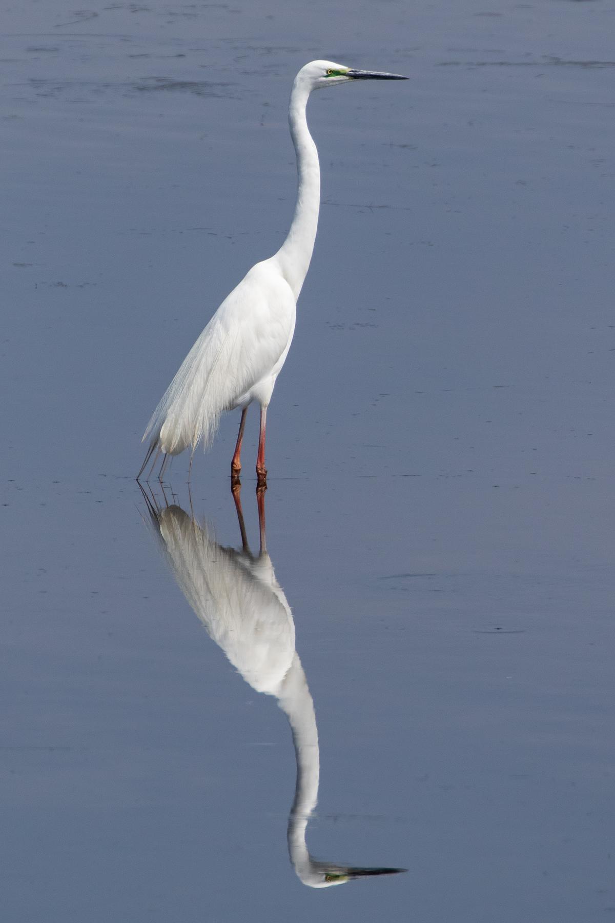 Great Egret (Image ID 42823)