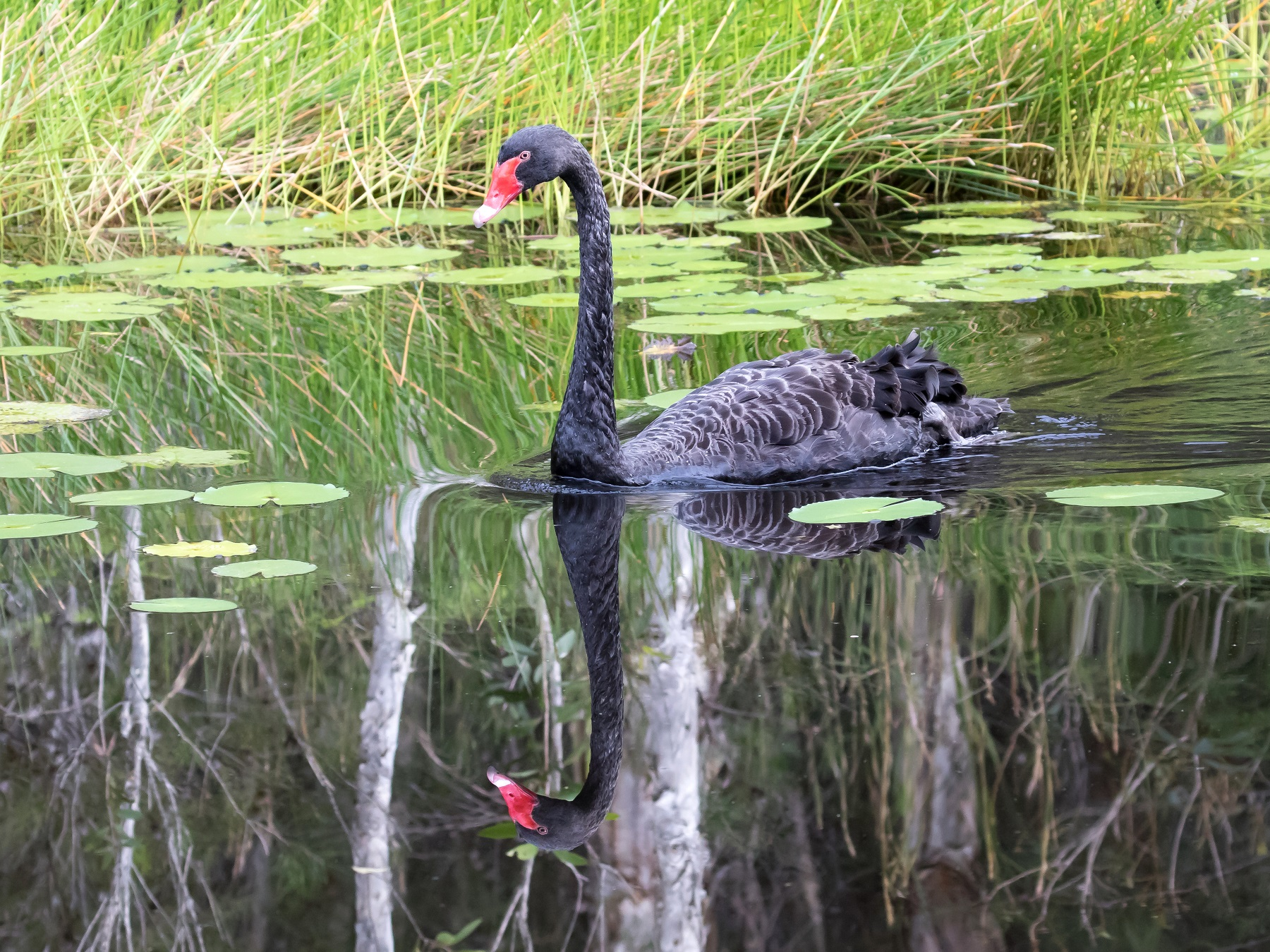 Black Swan (Image ID 42691)