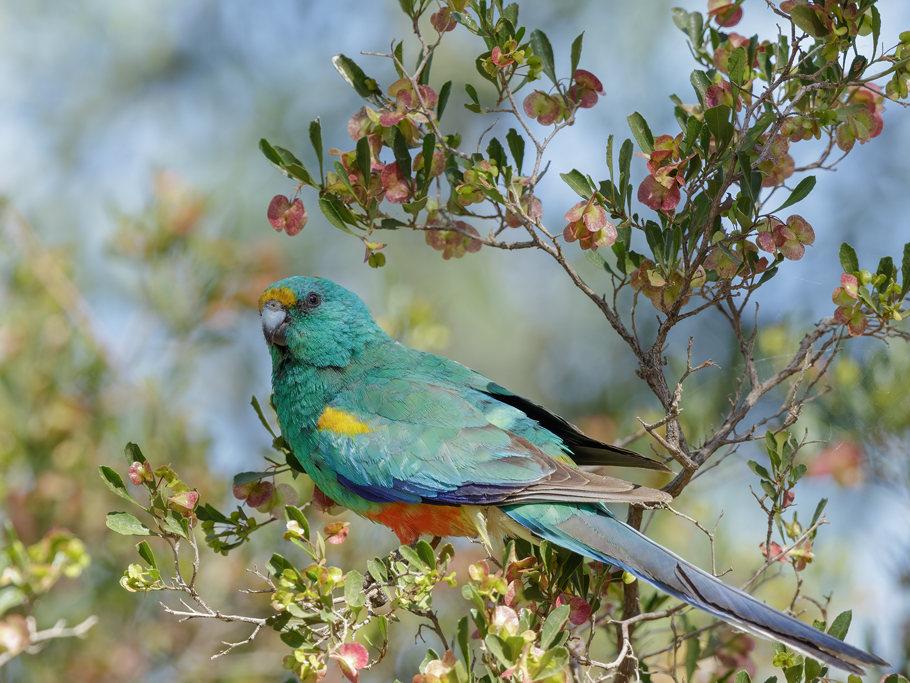 Mulga Parrot (Image ID 43076)
