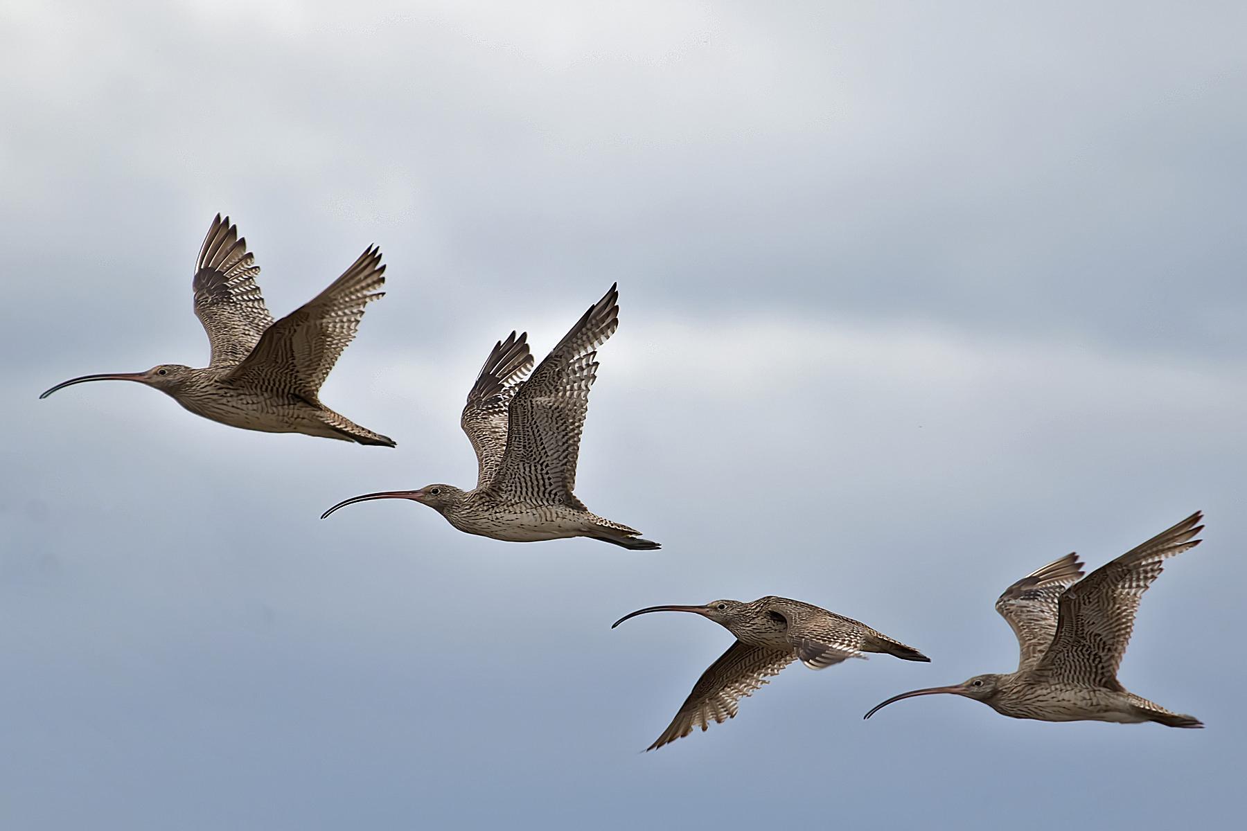 Far Eastern Curlew (Image ID 42844)