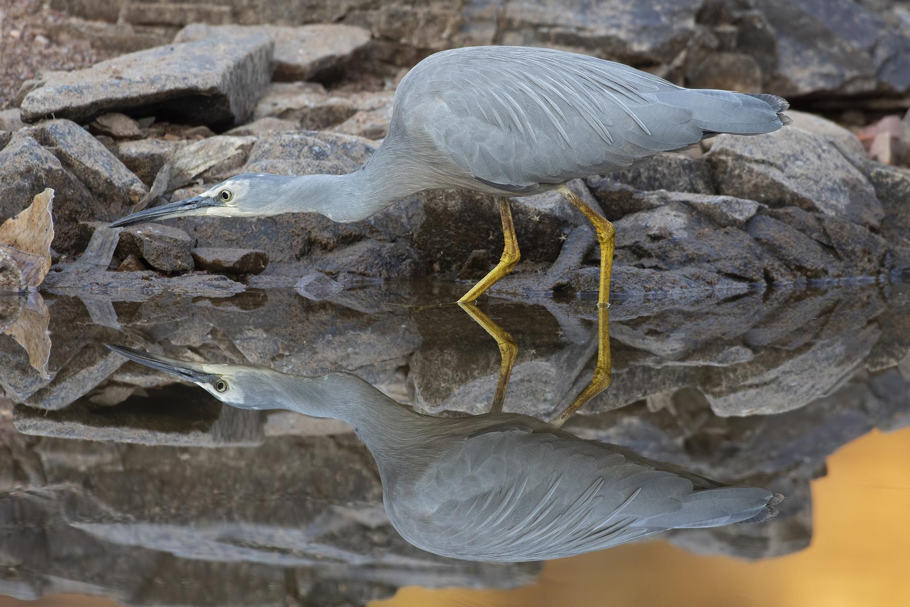 White-faced Heron (Image ID 42843)