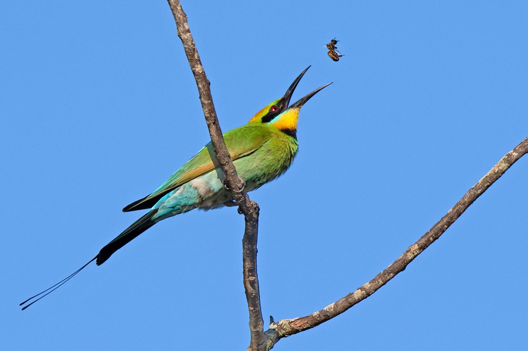 Rainbow Bee-eater (Image ID 42873)
