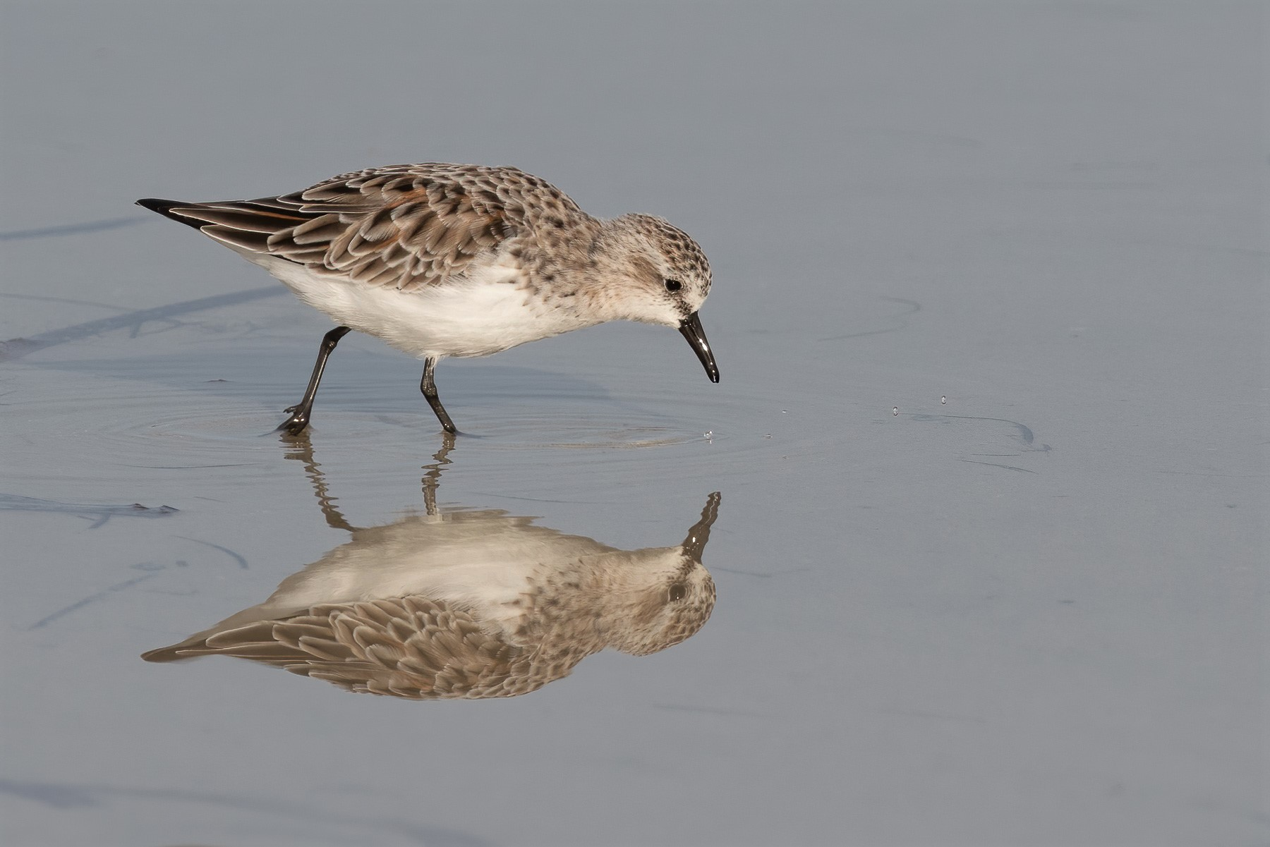 Red-necked Stint (Image ID 42782)