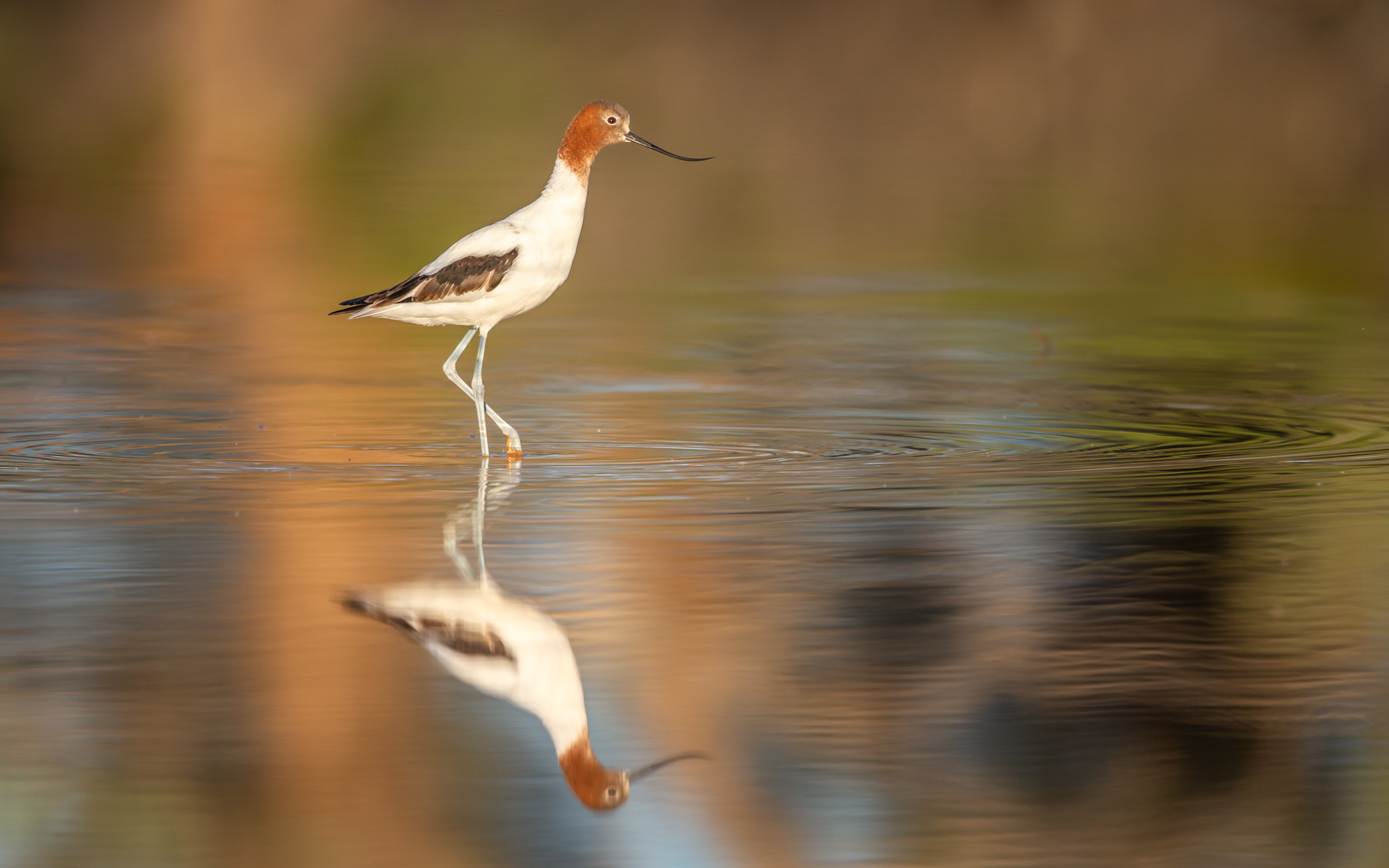 Red-necked Avocet (Image ID 43202)