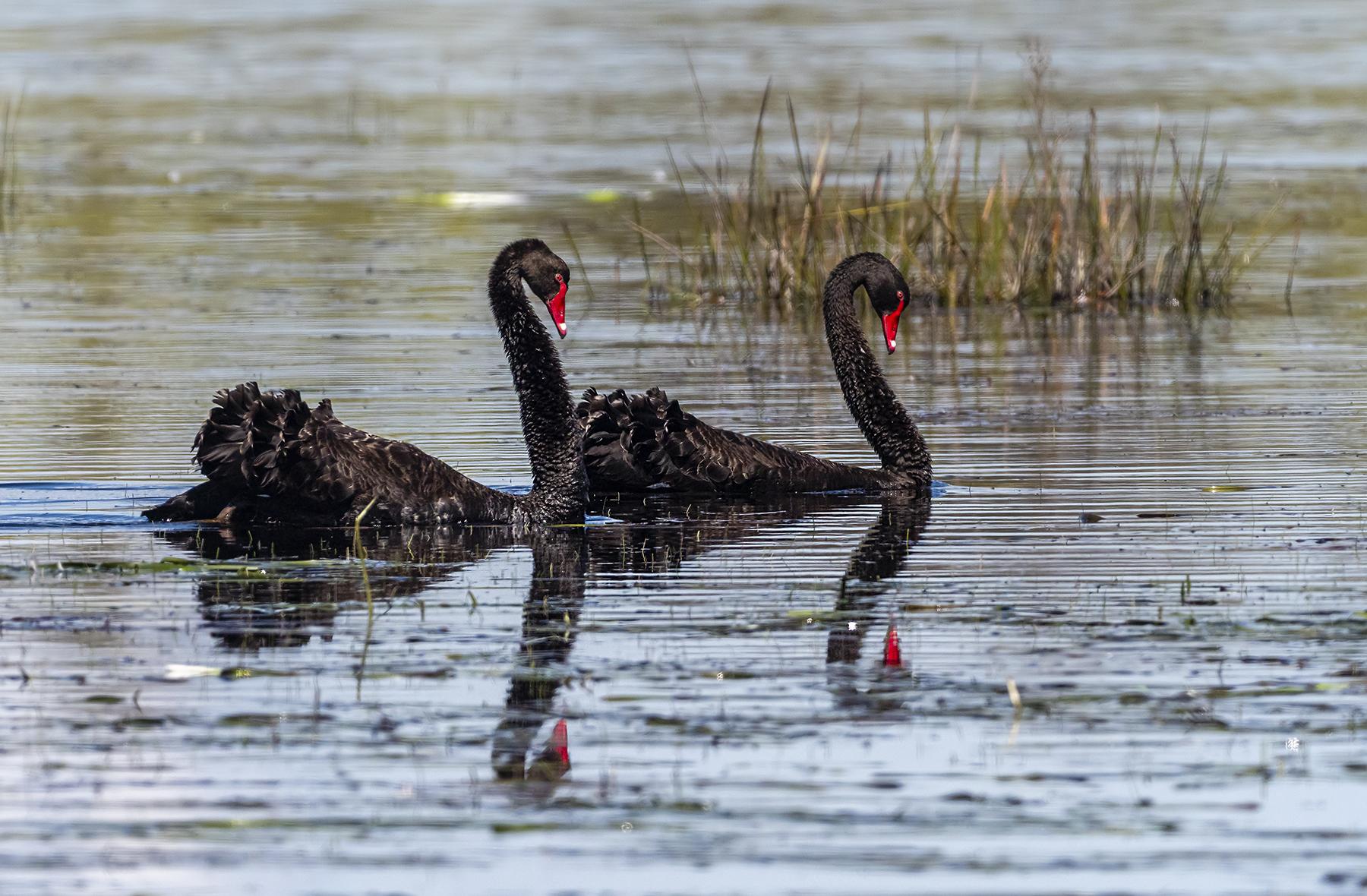 Black Swan (Image ID 42749)