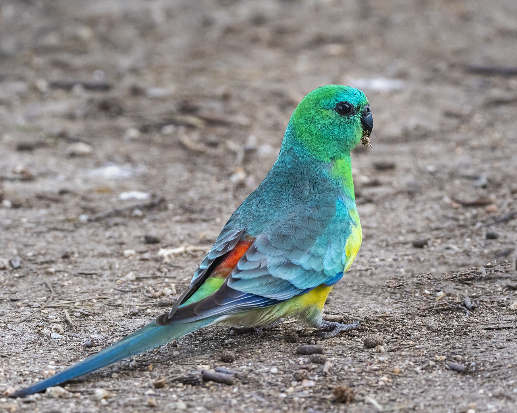 Red-rumped Parrot (Image ID 42937)