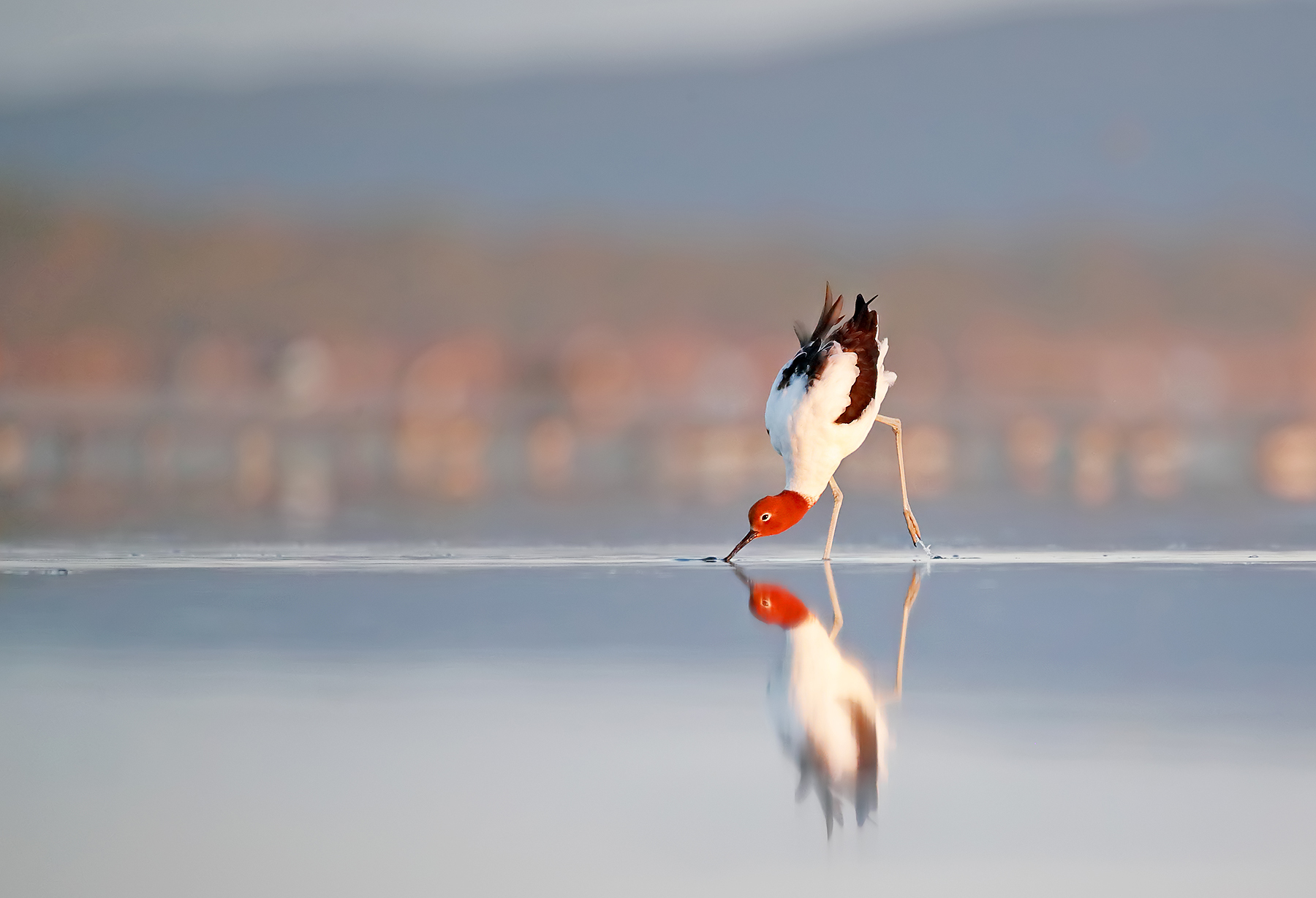 Red-necked Avocet (Image ID 42804)