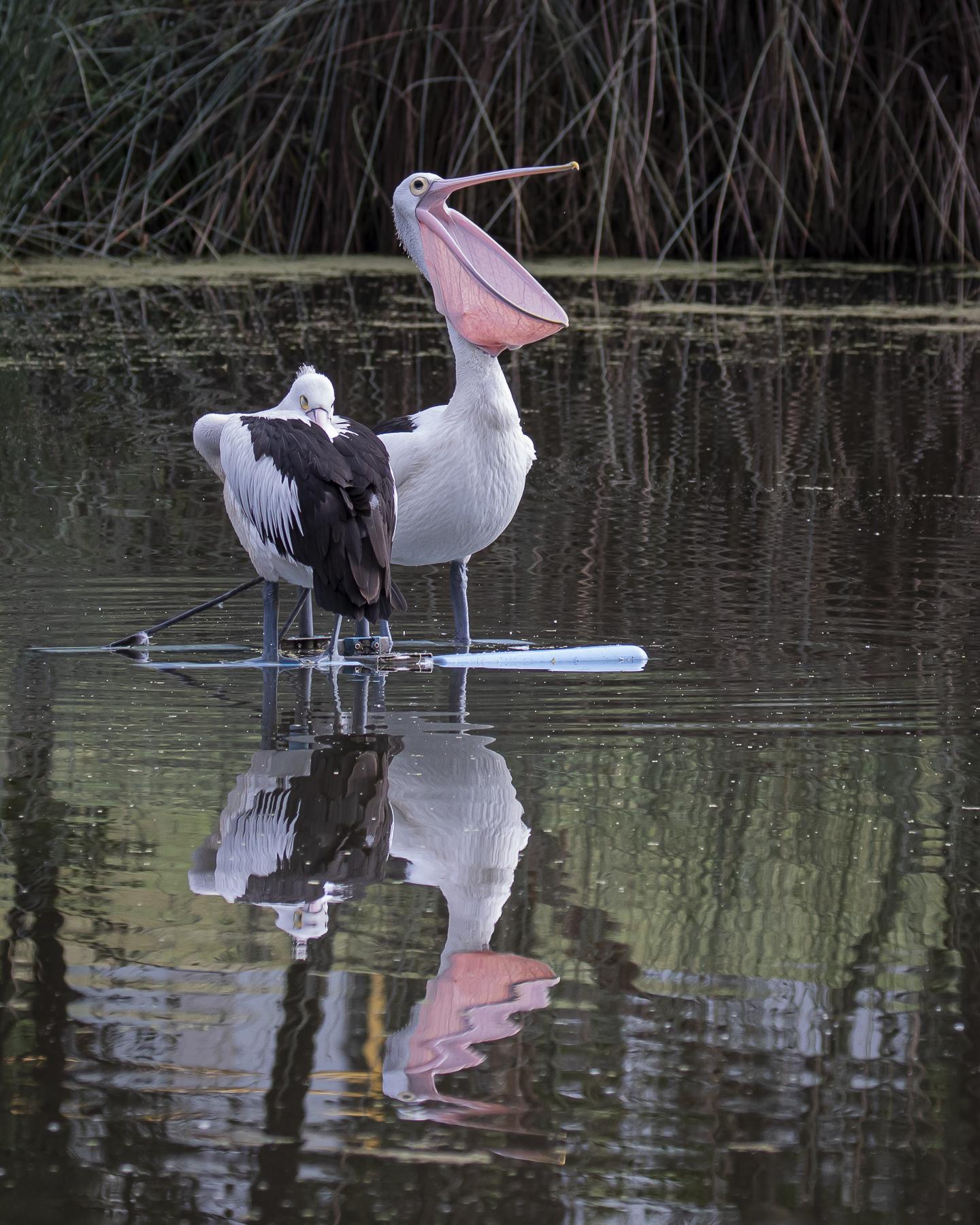 Australian Pelican (Image ID 43149)
