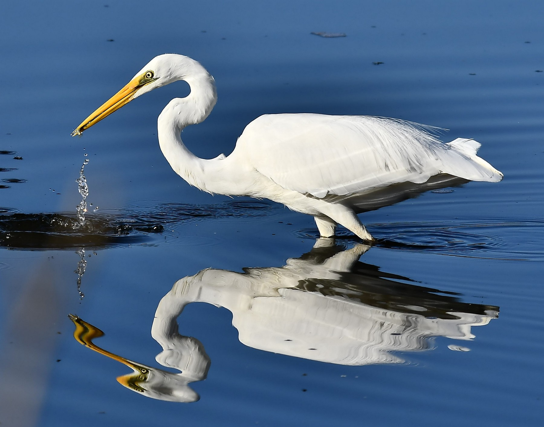 Great Egret (Image ID 42917)