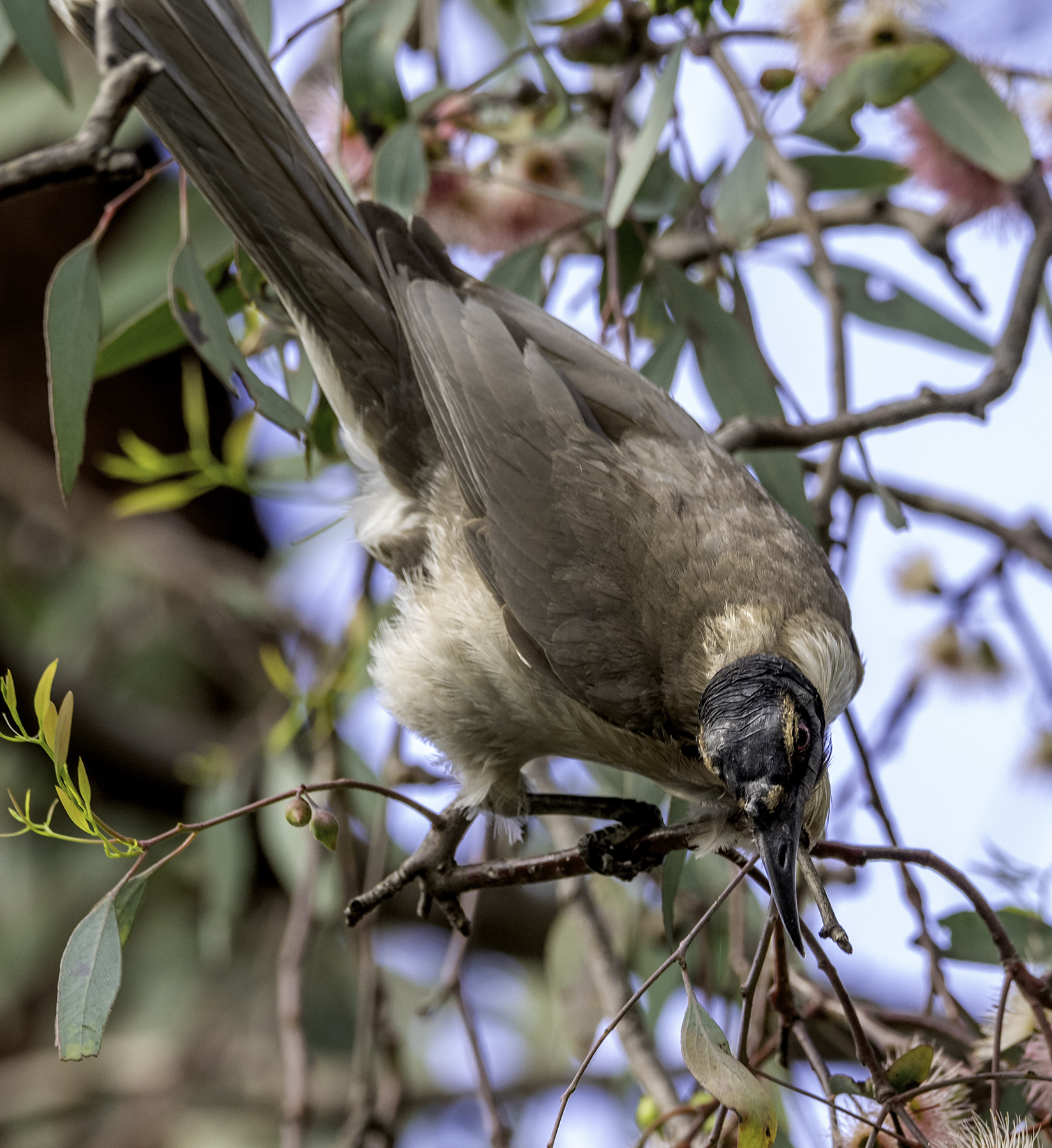 Noisy Friarbird (Image ID 43020)