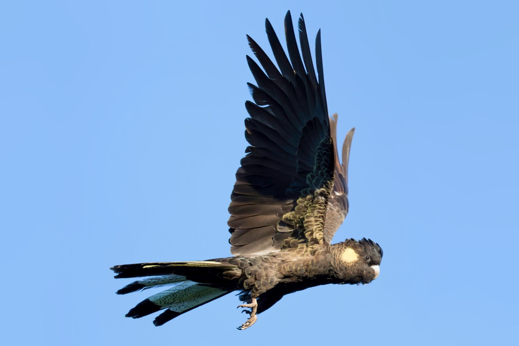 Yellow-tailed Black-Cockatoo (Image ID 42939)