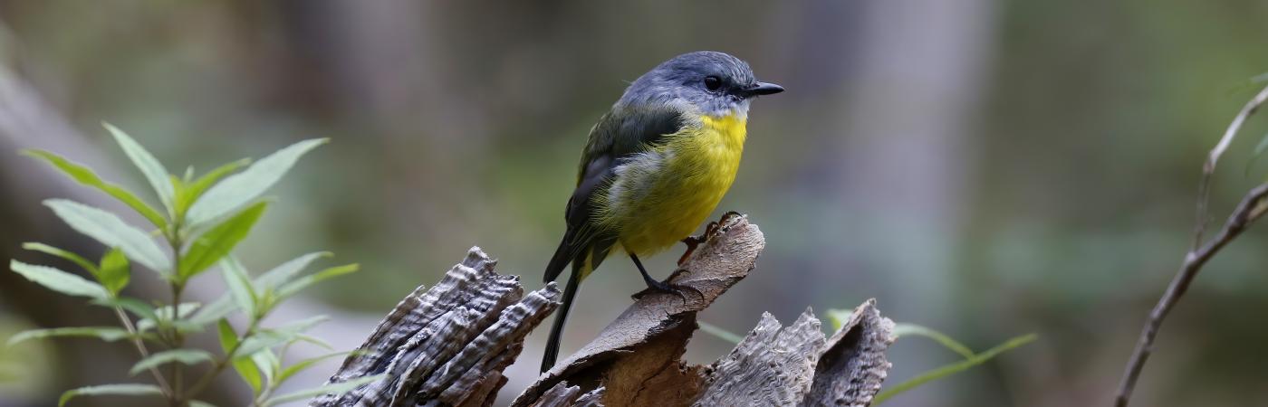 Eastern Yellow Robin (Image ID 42910)