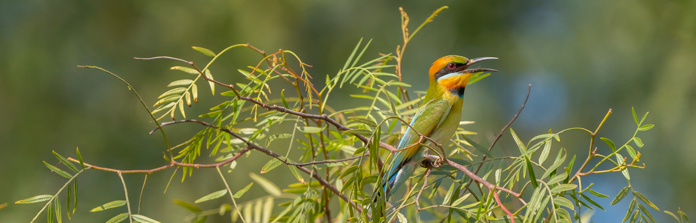 Rainbow Bee-eater (Image ID 43452)