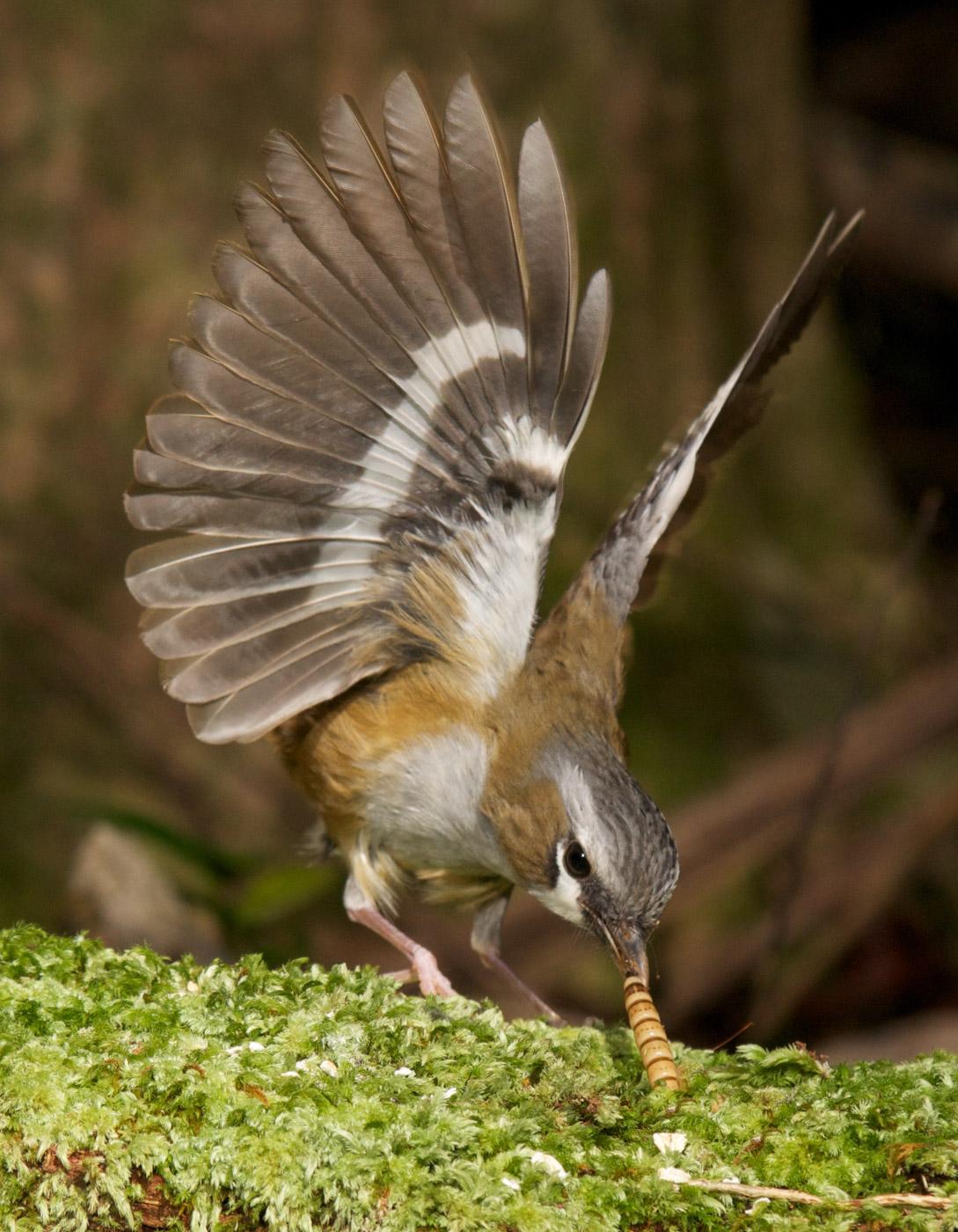 Grey-headed Robin (Image ID 43365)