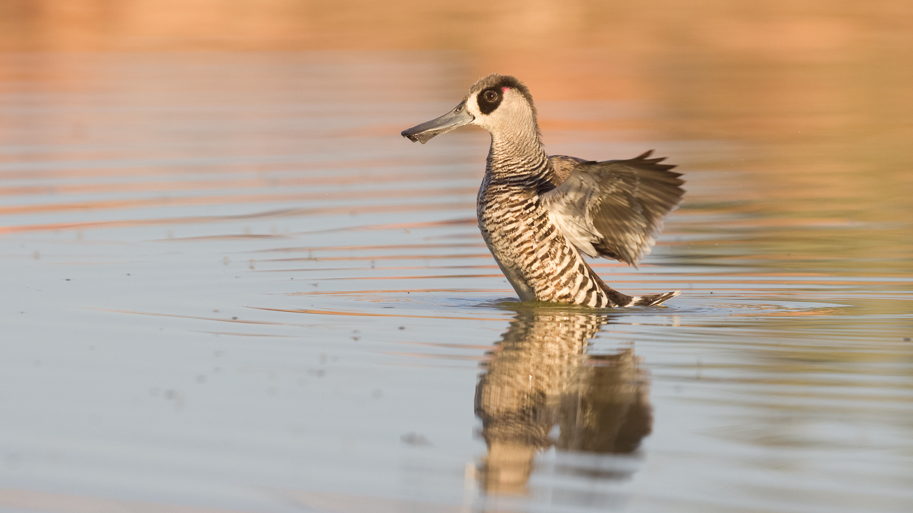 Pink-eared Duck (Image ID 43495)