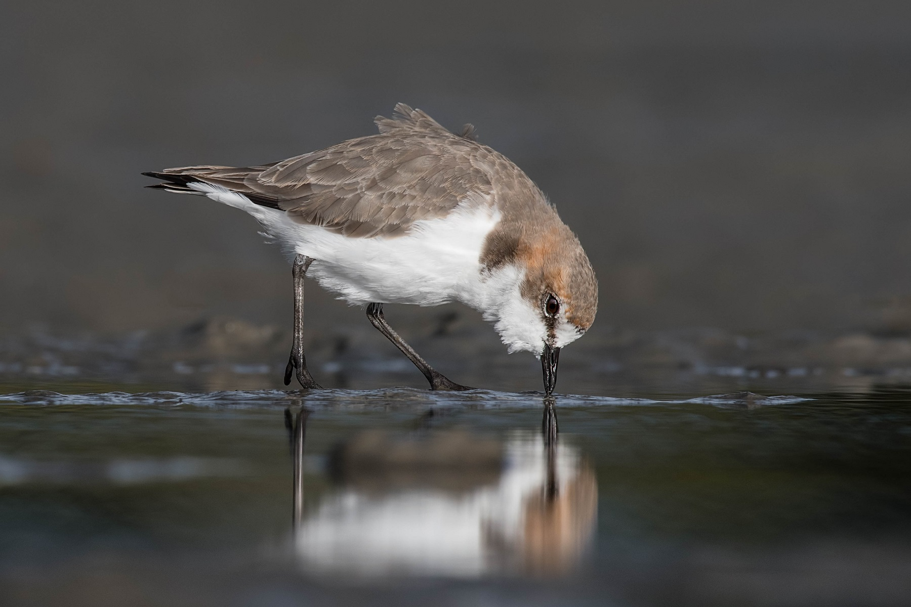 Red-capped Plover (Image ID 43236)