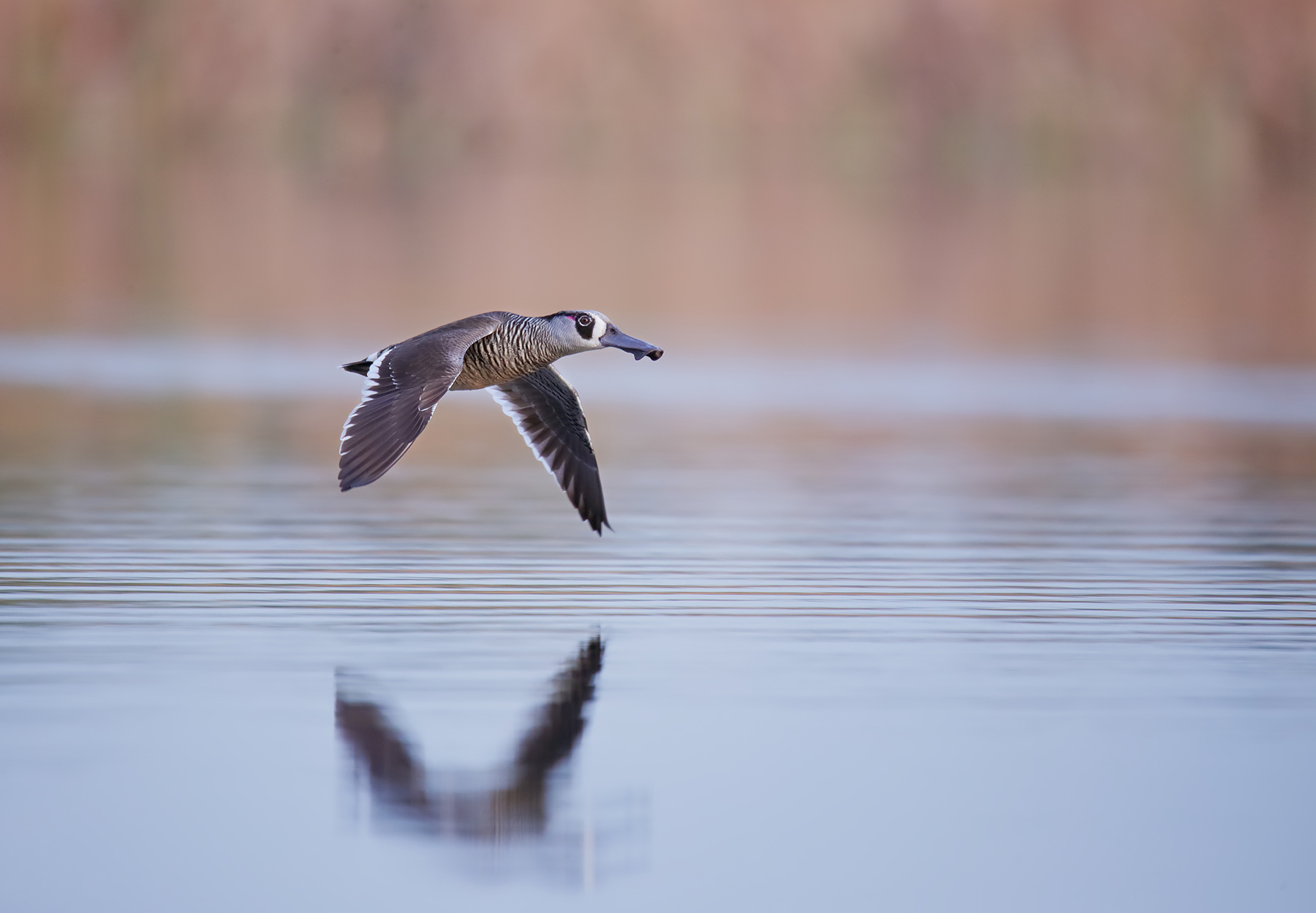 Pink-eared Duck (Image ID 43499)