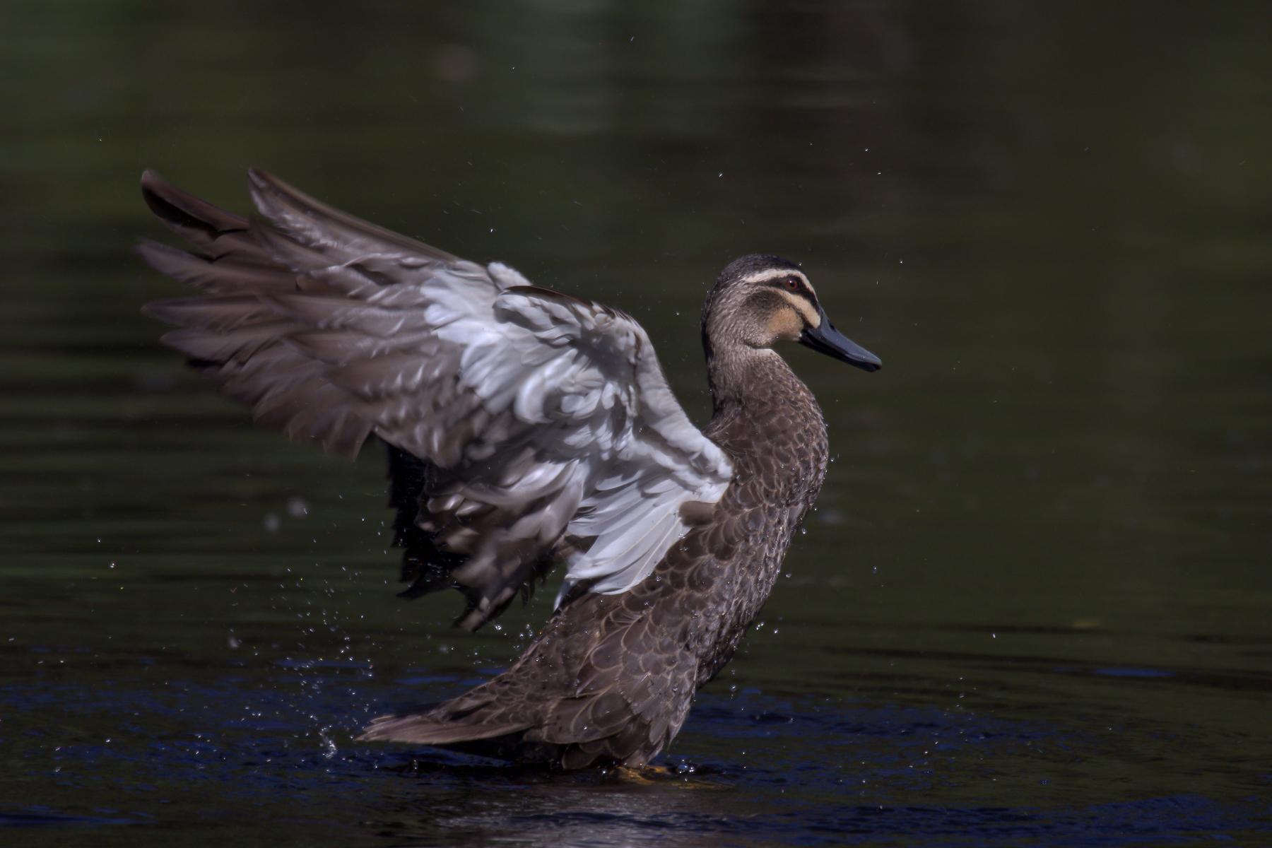 Pacific Black Duck (Image ID 43613)